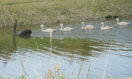 swans-2-004