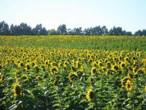 sunflowers-002