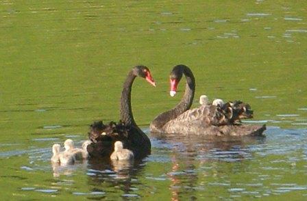 autumn-swans-014